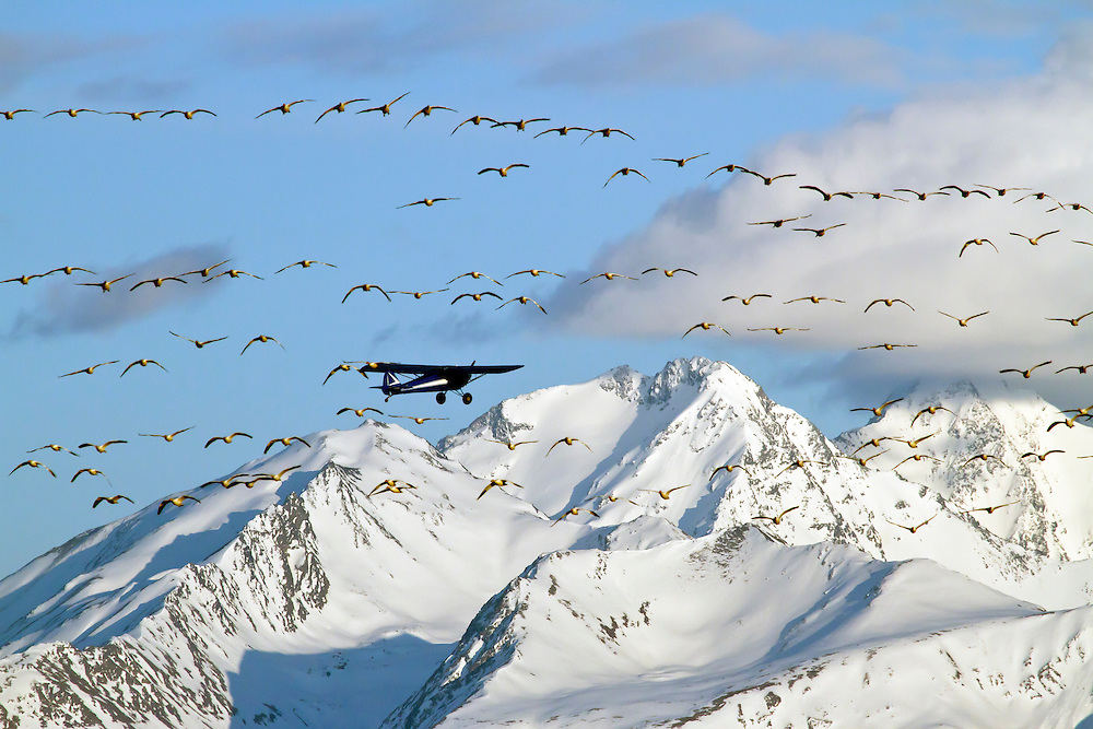 Alaska. Snow Geese (Chen caerulescens) prompted into flight by an airplane just having taken off from the Palmer airport,  during waterfowl migration through the Matanuska Valley.