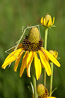 Yellow Coneflower (Rudbeckia grandiflora), Colorado County, Texas