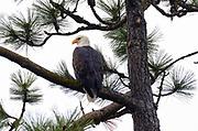 Bald eagle perched in a ponderosa pine at Higgins Point along Lake Coeur d' Alene during the Kokanee spawn in December. Kootenai County, North Idaho.