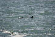 CALIFORNIA COAST - JANUARY 3:  2006 A seal and a seagull take a morning swim near Morro Bay during New Year's vacation driving along the California Coast on January 3, 2006 in Morro Bay, California. ©Paul Anthony Spinelli
