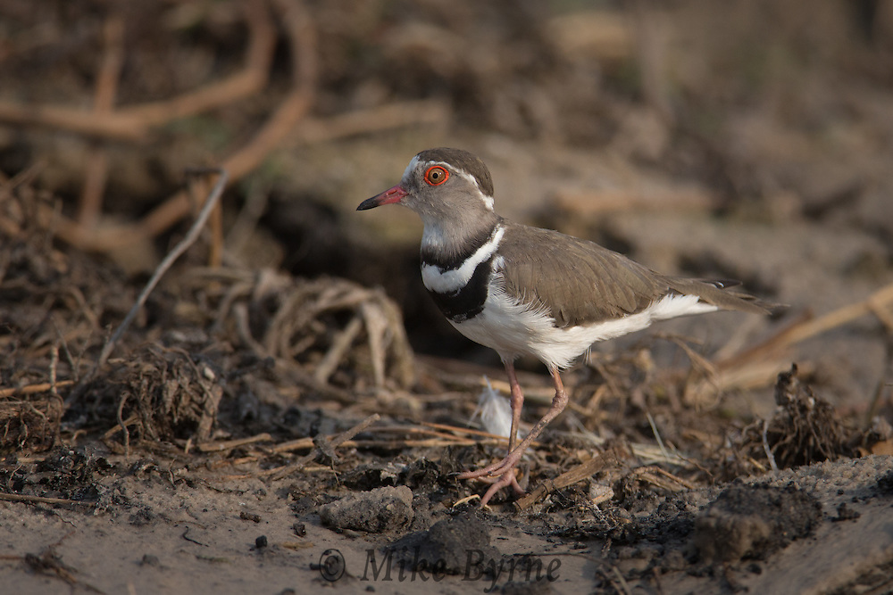 Three-banded plover ???  in Chobe National Park, Botswana.