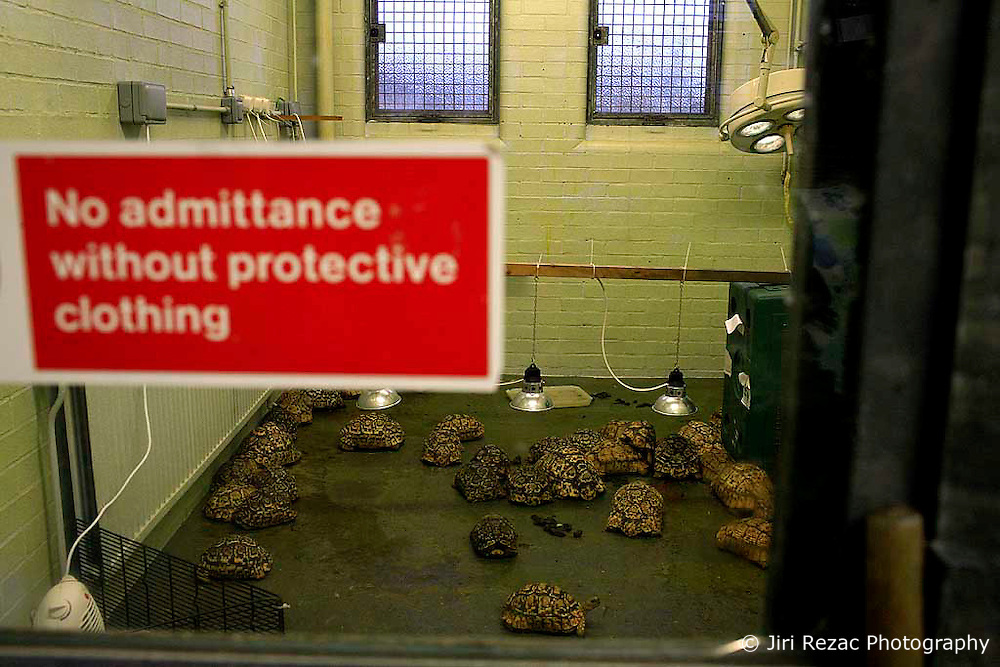 UK ENGLAND LONDON 3MAR09 - Leopard's tortoises (Geochelone Pardalis) are kept at the Heathrow Animal Reception Centre, run by the City of London Corporation. The Heathrow Animal Reception Centre - formerly known as the Animal Quarantine Station - is part of the Veterinary Sector of the City of London Environmental Services Directorate and has over the past 25 years established itself as a world leader in the care of animals during transport...jre/Photo by Jiri Rezac..© Jiri Rezac 2009