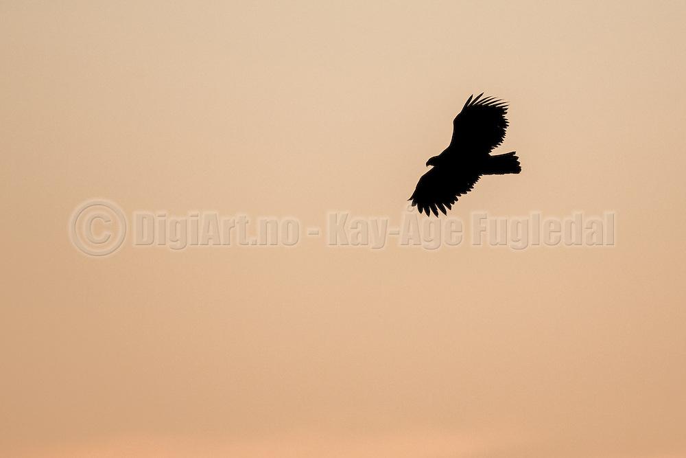 Ørn i silhuett mot gyllen himmel | Silhuette Eagle against golden sky.