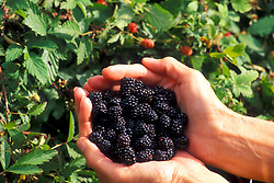 Stock photo of hands holding fresh plump Texas berries