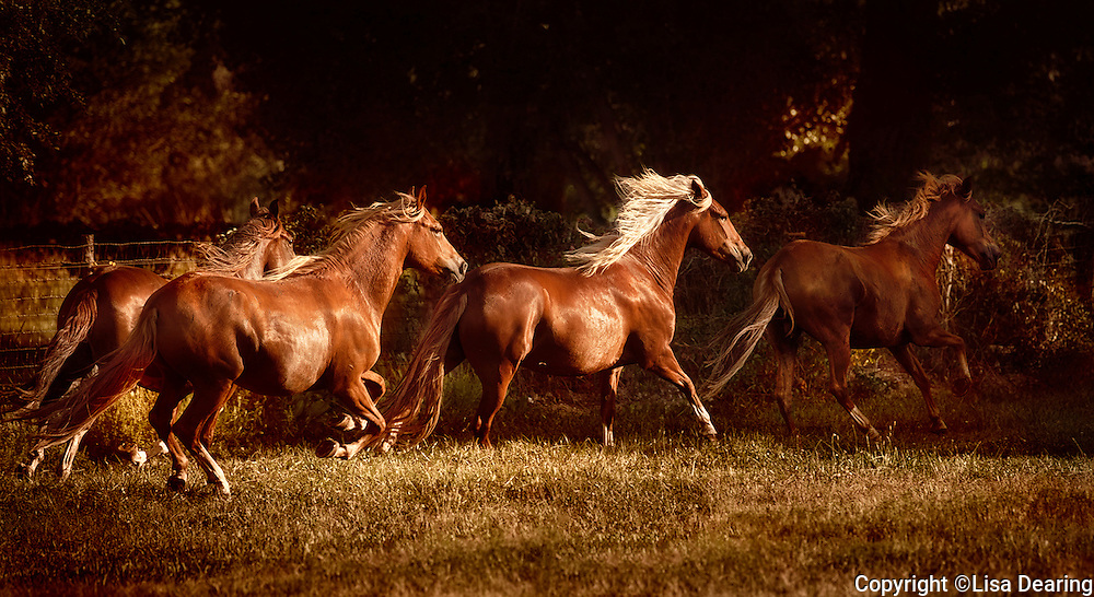 Peruvian Paso Horses Running near Santa Fe, New Mexico