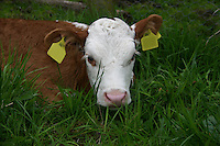 Calf in Wicklow Ireland