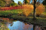 Cornus alba Sibirica and Salix 'Yelverton' next to a stream in The Savill Garden, Windsor Great Park, Windsor, Berkshire, UK