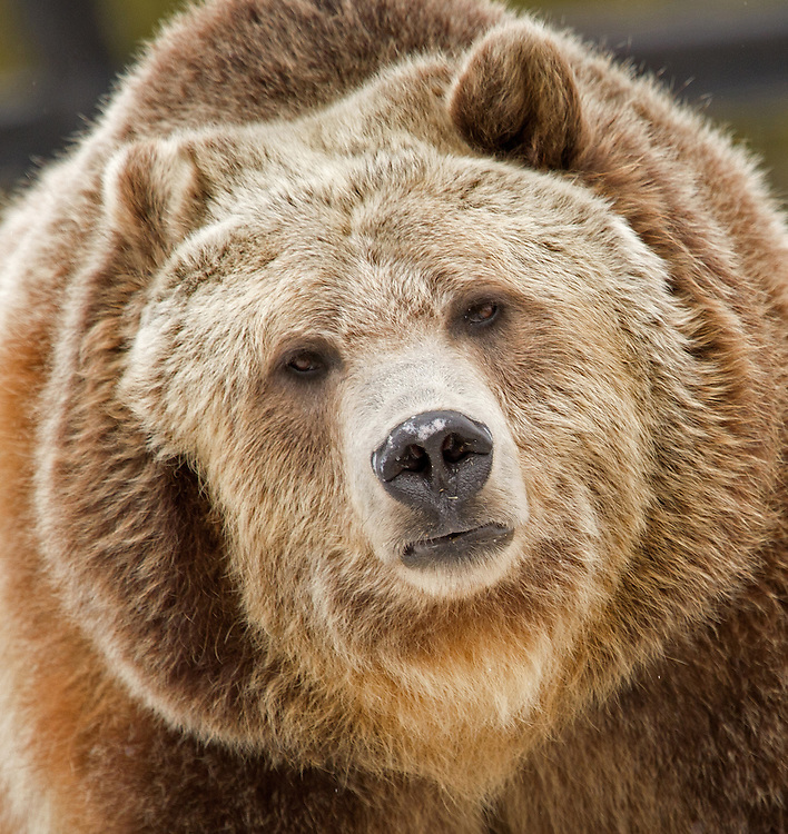 Spirit is a rescue bear who resides at the Grizzly and Wolf Discovery Center in West Yellowstone, Montana. She was brought to the GWDC after numerous unsuccessful relocation attempts still found her returning to raid garbage pails in Whitefish, Montana.