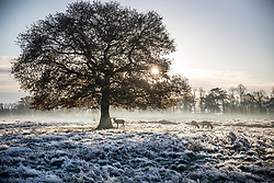 © Licensed to London News Pictures. 25/11/2017. London, UK. Deer in a frost covered landscape at Bushy Park, London at sunrise on November 25, 2017 as a drop in temperatures hits the UK. Photo credit: Peter Macdiarmid/LNP