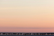 A herd of cattle cross the Makgadikgadi pans at sunset...Botswana, Southern Africa..© Zute & Demelza Lightfoot.www.lightfootphoto.com..