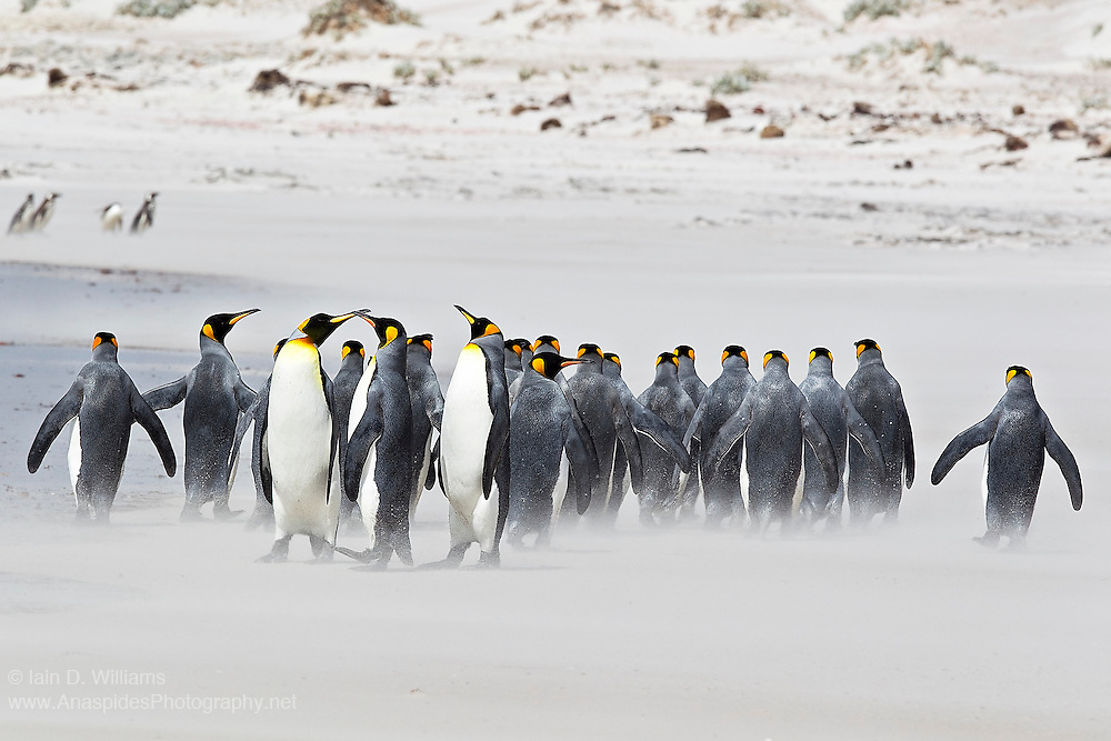 A group of king penguins bray and argue amongst themselves during a sand storm on a beach in the Falkland Islands