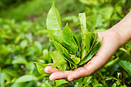 Freshly picked tea leaves at the Gunung Mas Tea Estate, Puncak, West Java, Indonesia.