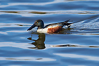 Male Northern Shoveler (Anas clypeata) swimming, Annapolis Royal Marsh, French Basin trail, Annapolis Royal, Nova Scotia, Canada