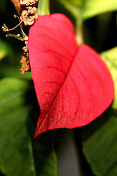 13 April 2007: Poinsettia
