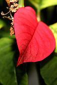 Poinsettia Editorial and Stock Photos
