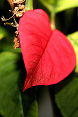 Poinsettia Editorial and Stock Photos