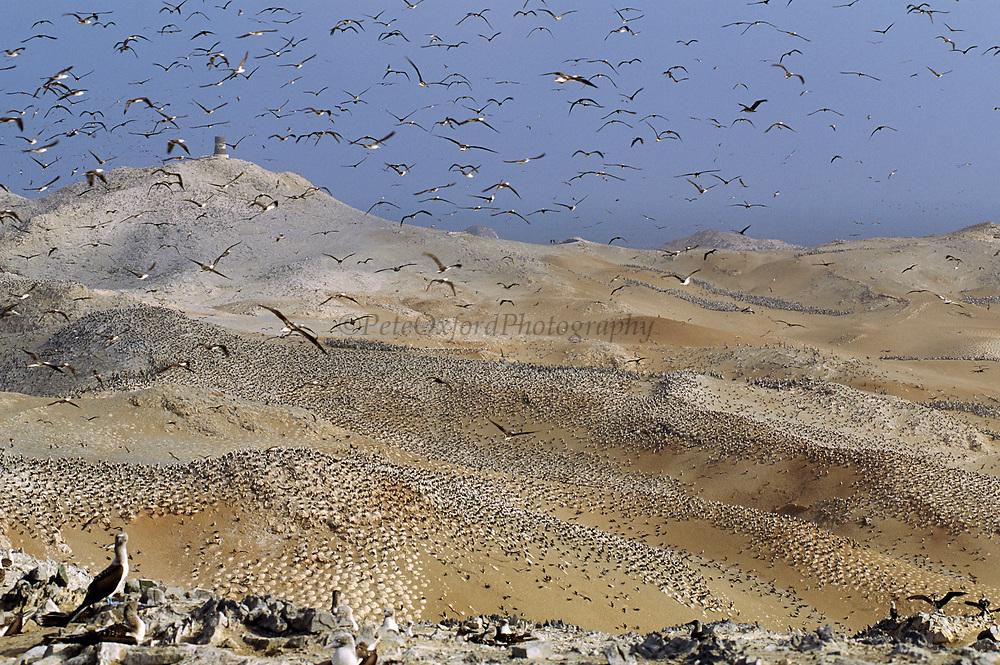 Peruvian Boobies Nesting Island<br />Sula variegata<br />Lobos de Afuera Island off PERU<br />RANGE;  Coastal sw Colombia to s Chile