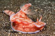 Nudibranch or sea slug (Ceratosoma trilobatum) in Tulamben, Bali, Indonesia.