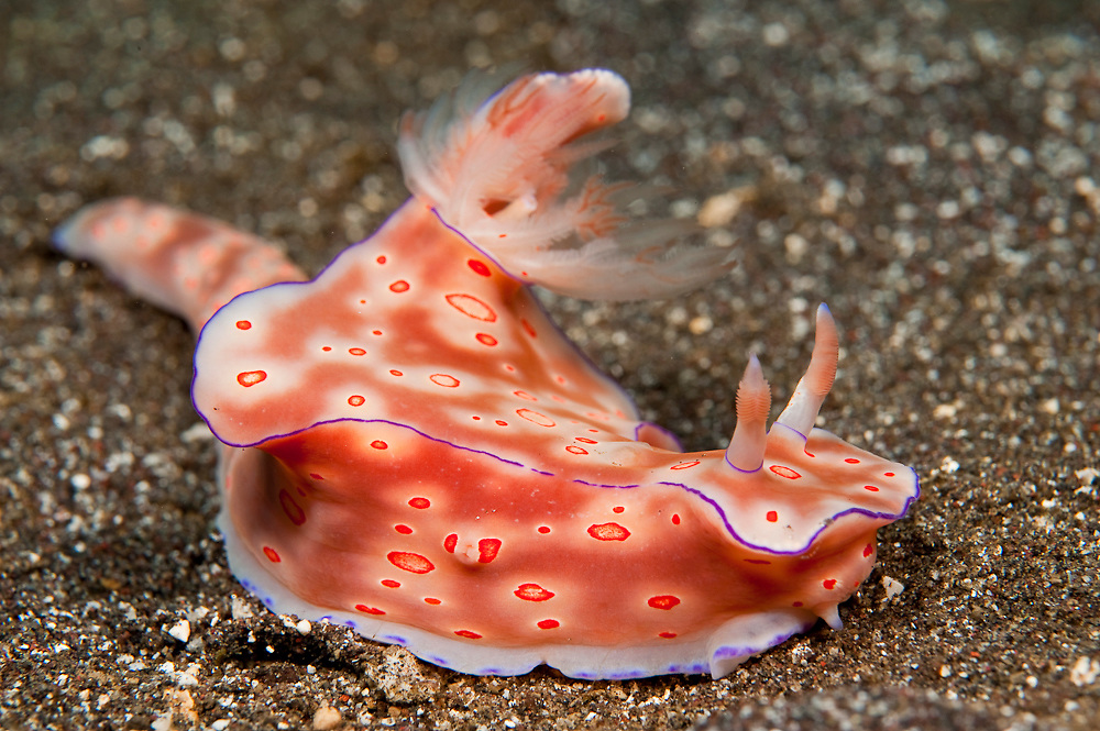 Nudibranch or sea slug (Ceratosoma trilobatum) in Tulamben, Bali, Indonesia.