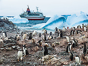 "Gentoo Penguins (Pygoscelis papua) emerge from iceberg bejeweled waters of the Southern Ocean to waddle to their summer colony on Cuverville Island, Antarctica. The adventure cruise ship M/S Explorer anchors offshore in 2005. An adult Gentoo Penguin has a bright orange-red bill and a wide white stripe extending across the top of its head. Chicks have grey backs with white fronts. Of all penguins, Gentoos have the most prominent tail, which sweeps from side to side as they waddle on land, hence the scientific name Pygoscelis, ""rump-tailed."" As the the third largest species of penguin, adult Gentoos reach 51 to 90 cm (20-36 in) high. They are the fastest underwater swimming penguin, reaching speeds of 36 km per hour. Cuverville Island is in Errera Channel off the west coast of Graham Land, the north portion of the Antarctic Peninsula. Reuters News Pictures Service published this image in stories on the M/S Explorer, which sank after hitting an iceberg in 2007 and now lies sunk 600 meters deep in the Southern Ocean. The Explorer, owned by Canadian travel company GAP Adventures, took on water after hitting ice at 12:24 AM EST on Friday November 23, 2007. 154 passengers and crew calmly climbed into lifeboats and drifted some six hours in calm waters. A Norwegian passenger boat rescued and took them to Chile's Antarctic Eduardo Frei base, where they were fed, clothed, checked by a doctor, and later flown to Punta Arenas, Chile. The ship sank hours after the passengers and crew were safely evacuated."