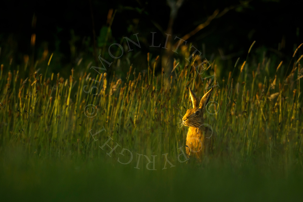 European Hare (Lepus europaeus) adult in grass meadow at dusk, South Norfolk, UK. June.