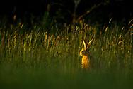 European Hare (Lepus europaeus) adult in grass meadow at dusk, South Norfolk, UK. June.