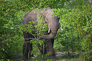 An African elephant forages in the bush, Kruger National Park, South Africa.