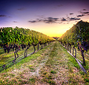 Time for the Vendemmia at Macari Vineyards in Mattituck, Long Island