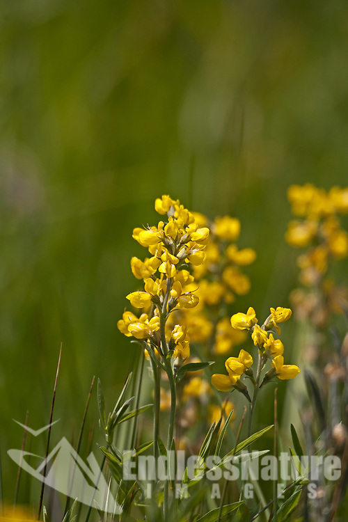 Winter Cress is a long stem yellow wildflower that some consider a noxious weed.
