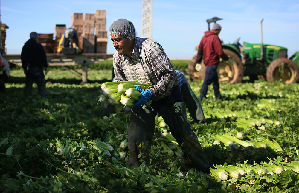 BRAWLEY, CA-JAN 31:  Mexican Farm workers harvest Celery in a field outside of Brawley, California, in the Imperial Valley, on Tuesday, January 31, 2017. Many of the farm workers expressed fears that they wouldn't be able to continue working in the United States under the President Trump's administration.