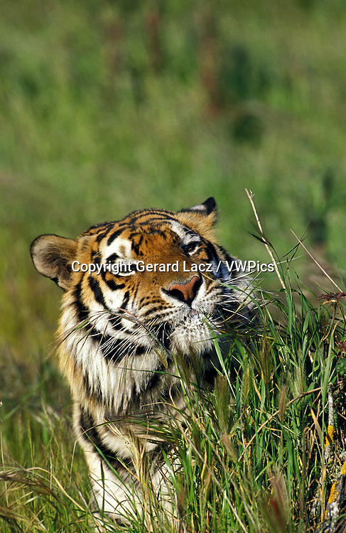 Siberian Tiger, panthera tigris altaica, Portrait of Adult
