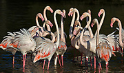 Greater Flamingoes (Phoenicopterus roseus) from Camargue, France.