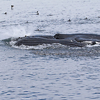 Minke whale feeding on bait ball.  Broughton Archipelago, British Columbia.