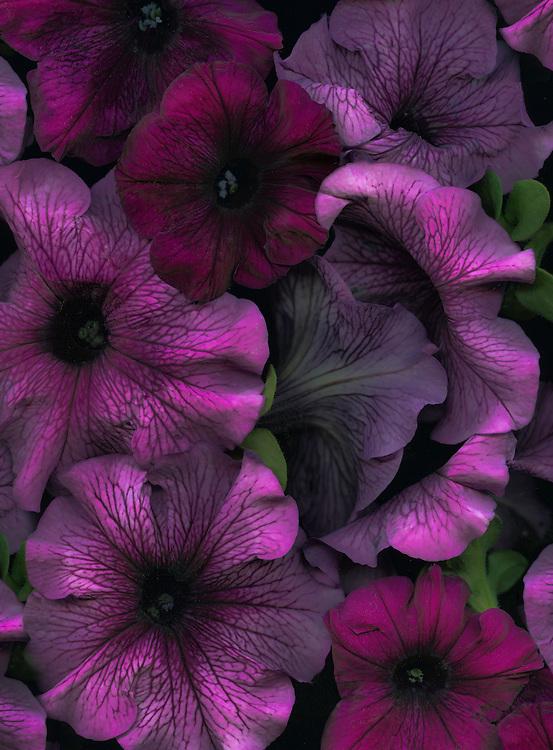 Petunias / #VAR268
