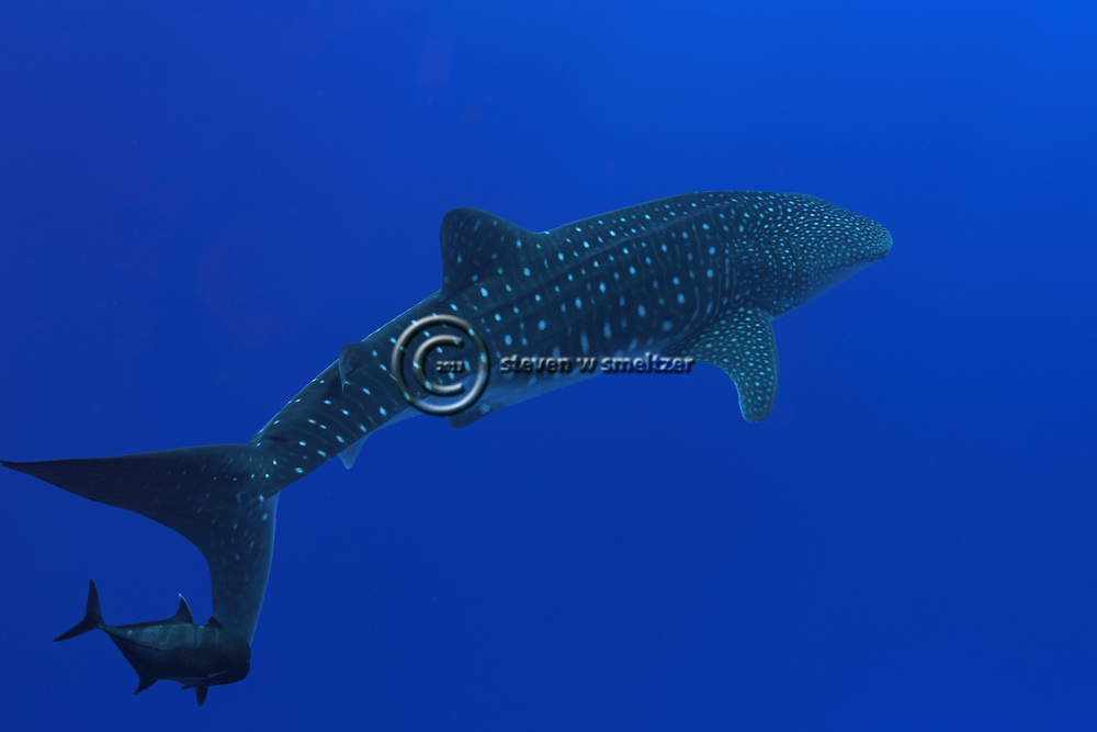 Whale Shark, Rhincodon typus, A. Smith, 1828, Molokini Crater, Hawaii