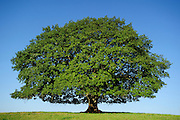 Although there are two trees in Nauroth, the double-stemmed oak (Quercus robur) shows the entire growth habit typical of a single, free-standing oak: the remarkably short stem merges into a multitude of strong branches, all in all an impressively wide Crown form. The meadow around the double oak is today a cattle pasture and so their low-hanging branches are eroded again and again from below. Nauroth, Germany | Obwohl es sich bei der Doppel-Stieleiche (Quercus robur) in Nauroth um zwei Bäume handelt, zeigt die gesamte Wuchsform die typischen Merkmale einer einzelnen, freistehend gewachsenen Eiche: der auffallend kurzen Stamm geht in eine Vielzahl starker Äste über, die insgesamt eine beeindruckend breite Krone bilden. Die Wiese rund um die Doppel-Eiche ist heute eine Rinderweide und so werden ihre tiefhängenden Zweige immer wieder von unten abgefressen. Nauroth, Deutschland