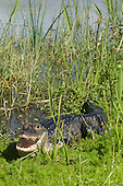 WETLAND MARSH: ALLIGATOR