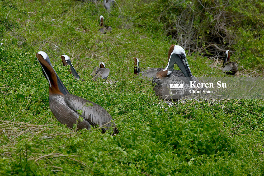 Brown pelicans nesting on the Galapagos Islands, Ecuador