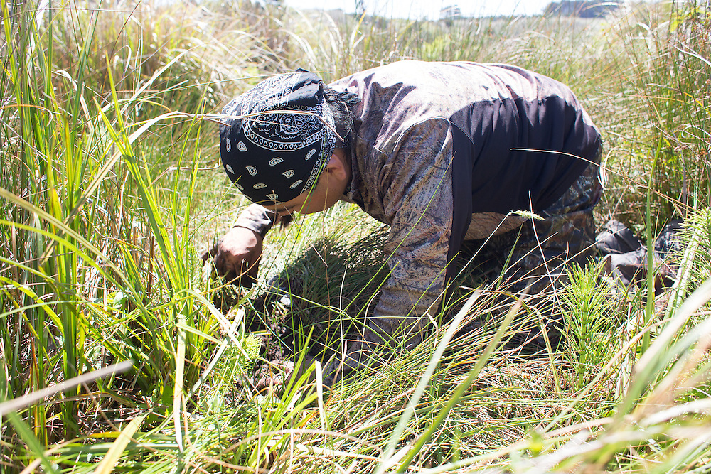 Isaac Rios is a Pomo Indian.  The newly created Stornetta Public Lands are of ceremonial and ancestral importance to the Pomo people.  Here, Isaac demonstrates the traditional way to harvest sage roots, used in basket making.
