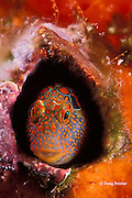 tessellated blenny, Hypsoblennius invemar, in barnacle shell on oil rig, Texas, USA, Gulf of Mexico