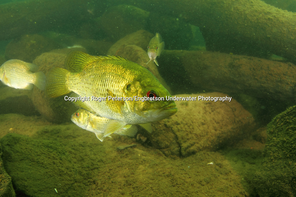 Rock Bass<br /> <br /> Roger Peterson/Engbretson Underwater Photography