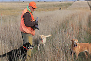 A hunter with three Labrador retrievers sets out on a pheasant hunt in South Dakota