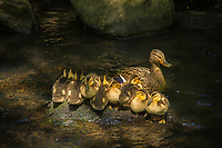 A busy  female mallard takes a break from showing her eight bundled ducklings how to find and eat peamouth minnow eggs from a shaded tiny creek in Bellevue, Washington on a warm spring afternoon.
