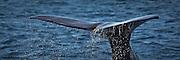 Diving Sperm Whale, Norway | Spermasetthval som dykker