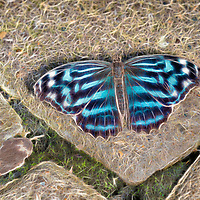 Mexican bluewing butterfly, open winged, at rest on rock wall.