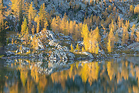 Alpine larches (Larix lyallii) reflected in tarn below Mount Monica 3072 m (10079 ft), Purcell Mountains British Columbia