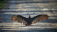 Turkey Vulture blocking the Loop road in Big Cypress National Preserve. Winter Nature in Florida Image taken with a Nikon D4 camera and 80-400 mm VRII telephoto zoom lens