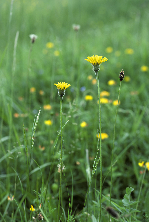 LESSER HAWKBIT Leontodon saxatilis (Asteraceae) Height to 25cm<br /> Perennial with similarities to both Autumn and Rough Hawkbits. Stems are hairless above but bristly below. Grows in dry, grassy places. FLOWERS are borne in heads, 20-25mm across, with yellow florets. Heads droop in bud and are solitary; scale-like bracts are absent from flower stalk (Jun-Oct). FRUITS form a white 'clock'. LEAVES are pinnately lobed and sparsely hairy. STATUS-Common and widespread, except in N.