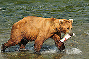 Brown Bear with Salmon in his mouth In Katmai National Park at Brooks Falls