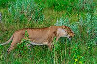 Female lion, Kwando Concession, Linyanti Marshes, Botswana.